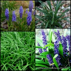 Liriope Royal Purple x 1 Shade Garden Plants muscari Flower Turf Lily Grass Foliage Flowering Patio Pot