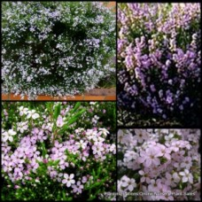 Diosma Pink Dwarf x 1 Shrubs Garden Hedge Scented Flowering Plants Hardy Frost Coleonema pulchrum Compacta