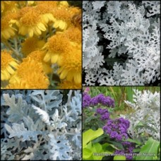 Silver Dust x 5 Dusty Miller Shrubs Tough Borders Rockery Pots Golden Yellow Flowering Ragwort Plants Senecio cineraria Grey Foliage Drought Frost Hardy