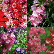 Penstemon Mixed x 6 Random Pack 2 Types Beard Tongue Cottage Garden Flowering Shrubs Plants Perennial Evergreen Hardy Frost Tough Rockery Borders