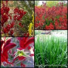 Kangaroo Paw Red x 1 Australian Native Shrubs Flowering Grasses Garden Plants Paws Hardy Drought Anigozanthos flavidus