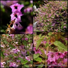 Thomasia purpurea Purple Wren plants x 5 Hardy Native Garden Shrubs Paper Flowering Bird Attracting Border Rockery