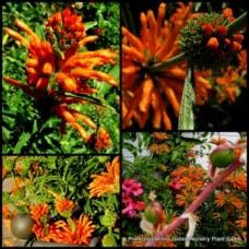 Lions Tail Wild Dagga Plants x 4 Leonotis leonurus Hardy Orange Flowering Shrubs Fast African Paw Ear Flowers
