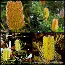 Banksia marginata x 1 - Silver Banksia - Australian Native Garden Plants Shrubs Trees Yellow Gold Flower Cones Hardy Drought Tough