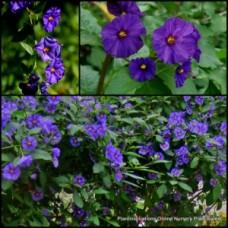 Blue Potato Bush x 4 Solanum rantonnetii Hardy Purple Flowering Garden Plants Lycianthes Rockery Border Climbing Vine