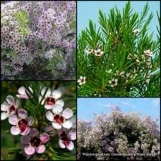 Geraldton Wax Meringer Mist x 4 Pink Flowering Native Plants Garden Shrubs Chamelaucium uncinatum Hardy Border Hedge Hedging