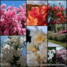 Oleander Mixed x 5 Plants 3 Types Flowering Garden Shrubs Flowers Hedging Double Flowering Plants Garden Hardy Drought Frost Nerium
