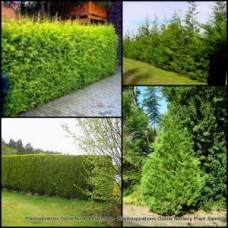 Conifer Castlewellan Gold x 1 Hedge Lemon Scented Dense Plants Screen Garden Trees Cypress Cupressocyparis leylandii