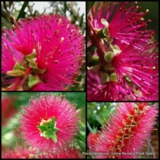 Bottlebrush Callistemon x 8 - Candy Pink - Flowering Australian Native Plants Bottle Brush Shrubs Trees Hedge Bird Attracting Hardy Drought Tough