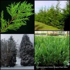 Conifer Leightons Green x 5 Hedging Screening Plants Cupressus cupressocyparis leylandii Trees Hardy Fast Hedge Screen