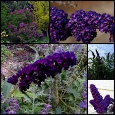Buddleia Black Knight x 5 Plants Butterfly Bush Plants Buddleja davidii Dark Purple Flowering Shrub Small/Tree Hedging Hedge Cottage Garden