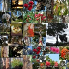 Eucalyptus x 100 - Gum Trees - Random Mixed Pack - 10 Types - Australian Native Plants Bush Bird Attracting Evergreen Firewood Hardy Drought Frost Tough