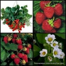 Strawberry Plants x 5  Sweet Fruiting Patch Fruit Herb Garden Strawberries White flowers Fragaria x ananassa Hanging Basket