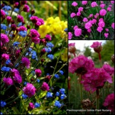 Armeria maritima Sea Thrift x 1 Morning Star Deep Rose Groundcover Plants Rockery Cottage Garden Pink Flowering splendens