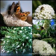 Buddleia Snow White Profusion x 5 Butterfly Bush Shrubs Scented Flowering Buddleja davidii Garden Plants Flowers