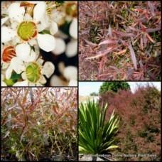 Leptospermum Copper Glow x 1 Tea Tree Australian Native Shrubs Plants White Flowering Hedge Pots Hardy Drought Frost polygalifolium