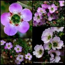 Leptospermum Lavender Queen x 4 Plants Tea Tree Native Shrubs Pink Flowering rotundifolium Teatree Garden Hedge hedging Screen Purple Mauve