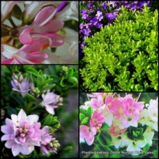 Hebe Wiri Cloud x 5 Plants Pink Flowers Hardy Hedge Veronica Small Leaf Shrubs long Flowering Cottage garden Rockery Border Patio Balcony Pot etc