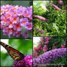 Buddleia Pink Profusion x 1 Butterfly Bush Shrubs Scented flowering shrubs Buddleja davidii Garden Plants Flowers