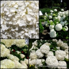 Hydrangea Annabelle x 5 Mophead White Flowers Sun Shade Cottage Garden Plants Shrubs arborescens