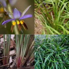 Dianella Mixed Pack 3 Types x 8 Australian Native Grasses Plants Flax Lily Garden Flowers Hardy Drought Frost