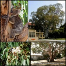 Eucalyptus Manna Gum x 5 Ribbon Native Trees Hardy White Flowering Tall fast growing Plants viminalis Firewood Koala Bird Attracting