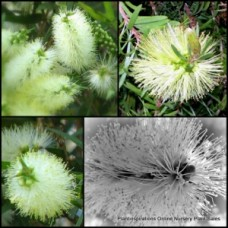 Bottlebrush Callistemon x 1 - Clearview White - Flowering Australian Native Plants Trees Shrubs Hedge Bird Attracting Hardy Drought Tough