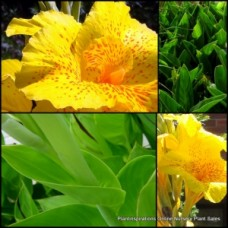 Canna Lily x 1 Tropical Yellow Dwarf Lilies Garden Swamp Water Flowering Plants