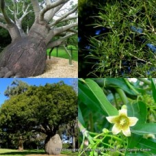 Queensland Bottle Trees x 1 Native Brachychiton rupestris Hardy Native Plants Kurrajong QLD Succulent Drought Tough Animal Fodder food