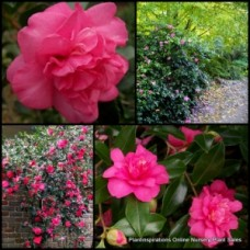 Camellia sasanqua Sparkling Burgundy x 4 Deep Pink Shrubs Hedge Garden Plants Camellia hiemalis Double flowering