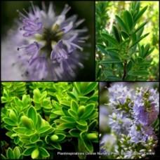 Hebe diosmifolia x 1 Dwarf Veronica Evergreen Shrubs Plants Mauve Lilac Flowering Pots Hedge Rockery Pots Topiary Bonsai Hardy Frost Tough