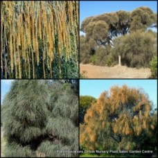 Sheoak Drooping x 1 Australian Native Trees Pines Plants Shrubs Weeping Red Orange Flowering Evergreen Hardwood Xeriscape Bird Attracting Hardy Drought Frost Salt Tough Erosion Control Allocasuarina verticillata