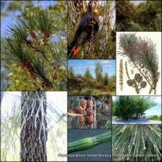 Sheoak Black x 1 Allocasuarina littoralis Native Trees Pines Plants Shrubs Weeping Flowering Bird Attracting Hardy Drought Frost Salt tolerant