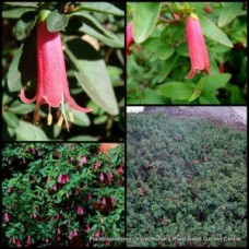 Correa Native Fuchsia Dusky Bells x 1 Australian Pink Flowering Shrub Bush Rockery Hedge Hanging Baskets Pots Topiary Bonsai Hardy Drought Frost Tough Bird Attracting reflexa x pulchella