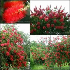 Bottlebrush Crimson Lemon Scented x 1 Callistemon citrinus Native Plants Shrubs Trees Hedge Red Flowering Hardy Drought
