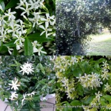Chinese Star Jasmine x 1 Vines Garden Plants Scented Fragrant White Flowers Groundcover Pots Hardy Frost Trachelospermum jasminoides
