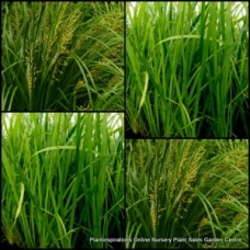 Lomandra hystrix Green Mat Rush x 1 Australian Native Grasses Water Pond Plants Cream Yellow Flowers Hardy Drought Frost