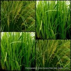Lomandra hystrix Green Mat Rush x 5 Plants Native Grasses Water Pond Cream Yellow Flowers Hardy Drought Frost Australian