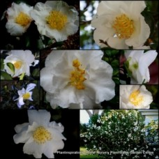 Camellia Setsugekka Ruffled White x 1 Yellow Centres sasanqua Flower Full Sun Shade Garden Shrubs Small trees