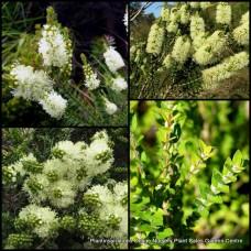 Melaleuca Scented Paperbark x 5 Hardy Native Shrubs Bush Cream White Flowering Bottlebrush Hedge Bird Attracting Drought Frost squarrosa