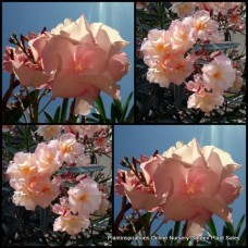 Oleander Mrs Roeding x 5 Double Apricot Flowering Plants Garden Hedging Shrubs Hardy Drought Frost Nerium