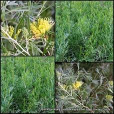 Grevillea Lemon Supreme x 1 Australian Native Garden Plants Shrubs Bush Yellow Flowering Hedge Hardy Drought Frost Tough Bird Attracting Evergreen hybrid thelemanniana x olivacea