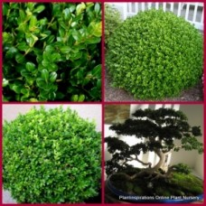 Japanese Box x 5 Plants Great Hedging Shrubs Buxus microphylla japonica Hedge, Border Rockery Topiary Bonsai Garden Patio Pot Balcony