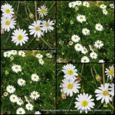 Brachyscome White Flowering  x 5 Ground Cover Plants Native Rock Swan River Daisy Cut Leaf alba Flowers Daisies Rockery Cascading