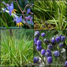 Dianella longifolia Native Smooth Flax Lily x 5 Grasses Strap Foliage Garden Plants Blue Flowers Berries Shade Hardy Drought Frost Flowering Strap