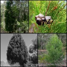 Pine Trees Oyster Bay x 1 Port Jackson Australian Native Plants Cypress Conifer Hardy Drought Frost Tough Timber Hedge Topiary Bonsai Callitris rhomboidea