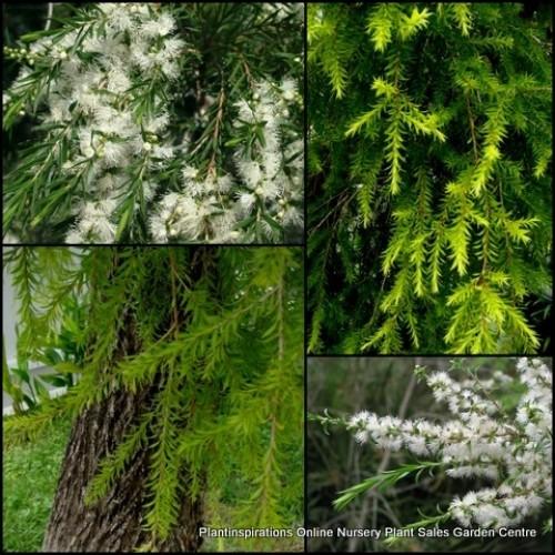 Melaleuca Revolution Green x 5 Plants Native Shrubs White Cloud Flowering Hardy Hedge Bush Rockery Border Garden bracteata