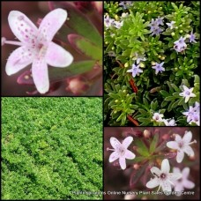 Myoporum Broad Leaf Pink flowering x 5 Creeping Boobialla Groundcover Native Myrtle Flowering Shrubs Plants Hardy Drought Frost Rockery Hanging basket parvifolium