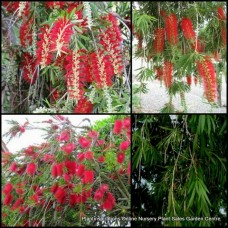 Bottlebrush Callistemon x 5 Hannah Ray Red Flowering Native Plants Trees Weeping Hedge Bird Attracting Hardy Drought Tough viminalis