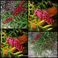 Grevillea Bronze Rambler x 1 Groundcover Hardy Native Plants Red/Pink/Purple Flowering Shrubs Long Flowers Cascading Border Rockery
